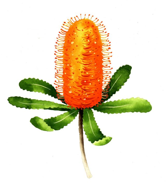 NATURE - Banksia Resized
