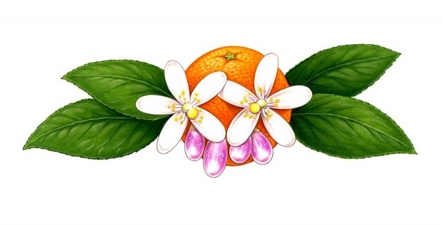 NATURE - Orange Blossom