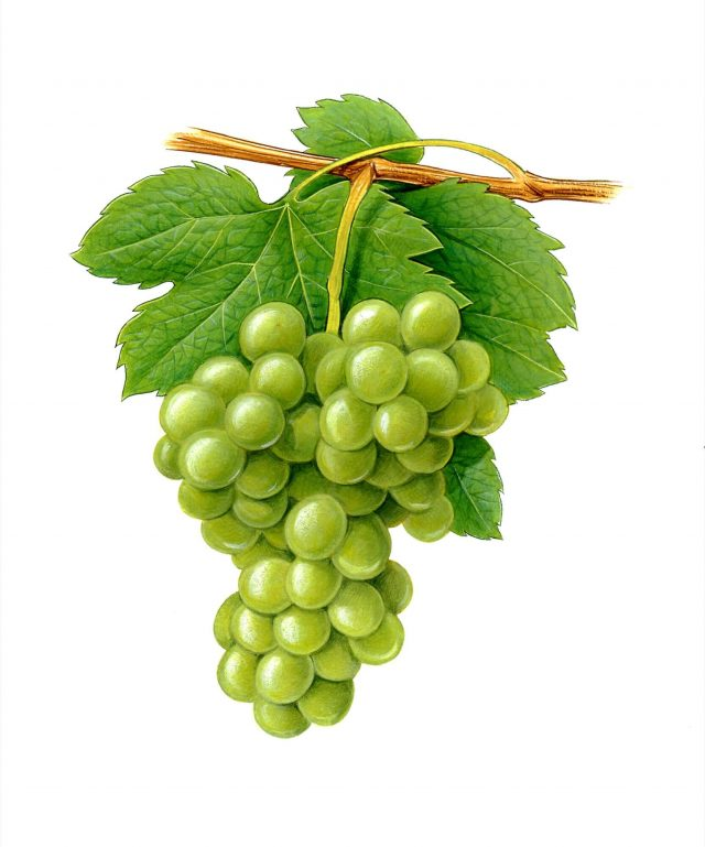 NATURE - White grapes