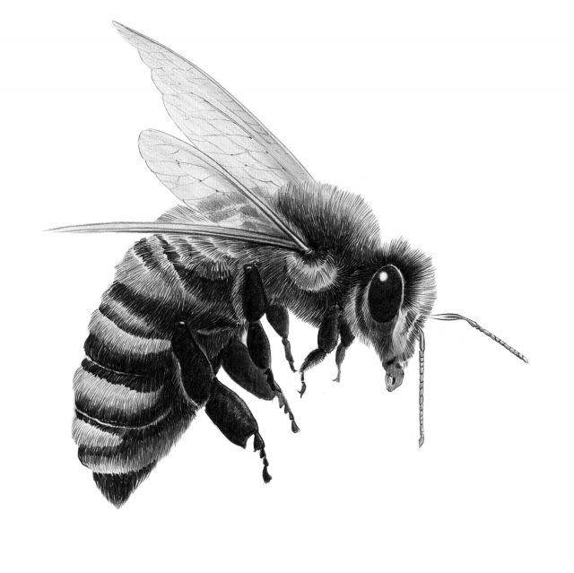 Bee illustration in graphite pencil