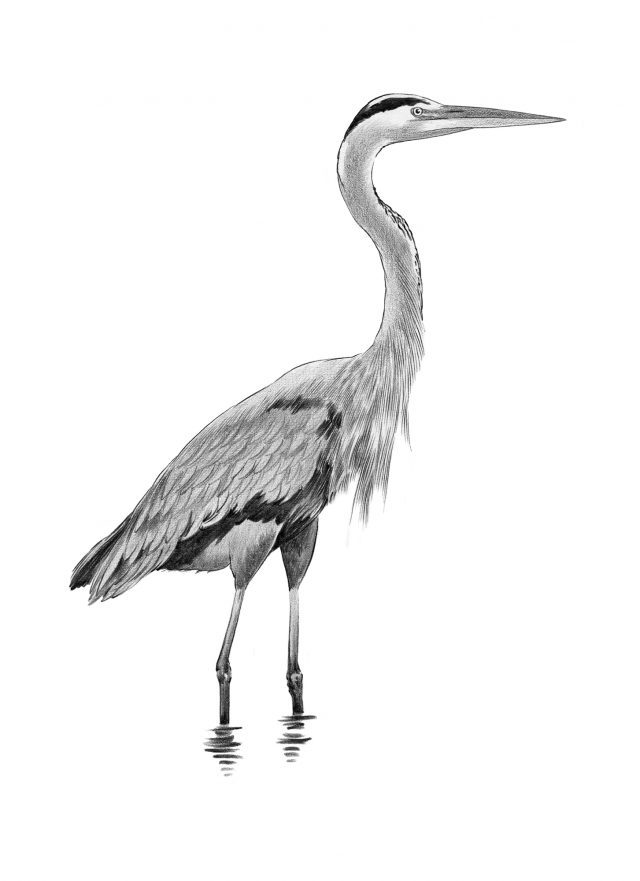Herron illustration in Graphite Pencil