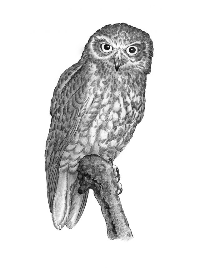 Graphite pencil illustration of Owl