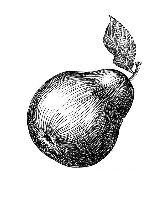 Vintage Pear illustration