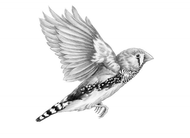 Zebra Finch in Graphite Pencil